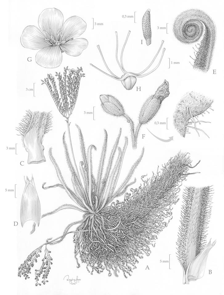 Nouvelle espèce: Drosera Magnifica . Droser11