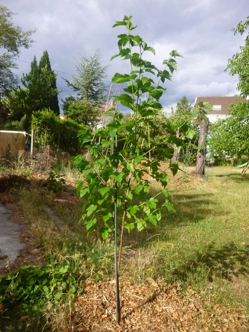 Plantation mûrier (morus nigra) P1080813