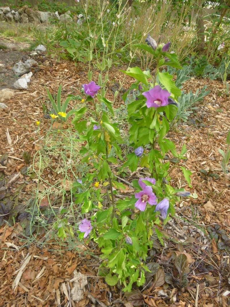 Hibiscus syriacus ou althéa  P1080815