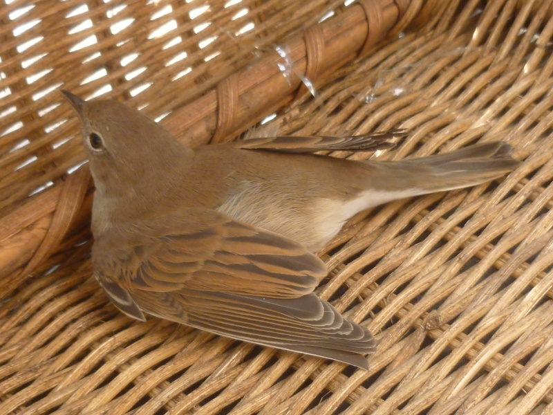 Aide, oiseau en détresse P1090115