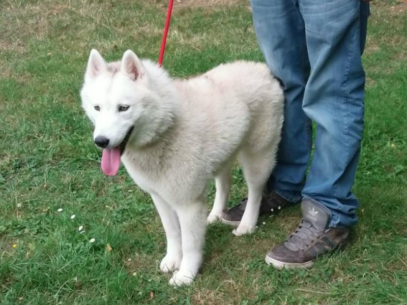 Gina, jolie femelle Husky REFU62 11760110