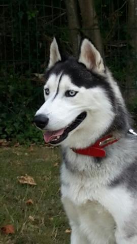 Jayz, Husky mâle noir et blanc REFU60 7_310