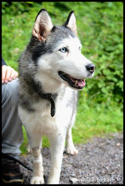 Angel, Husky femelle REFU57 ADOPTE Angel510
