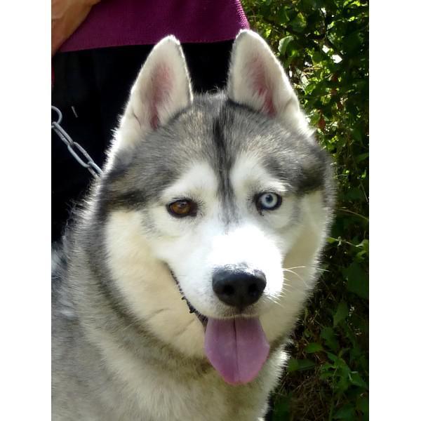 Dyouki, superbe mâle Husky REFU37 P1020310