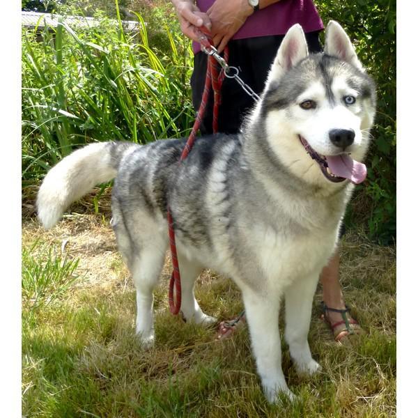 Dyouki, superbe mâle Husky REFU37 P1020311