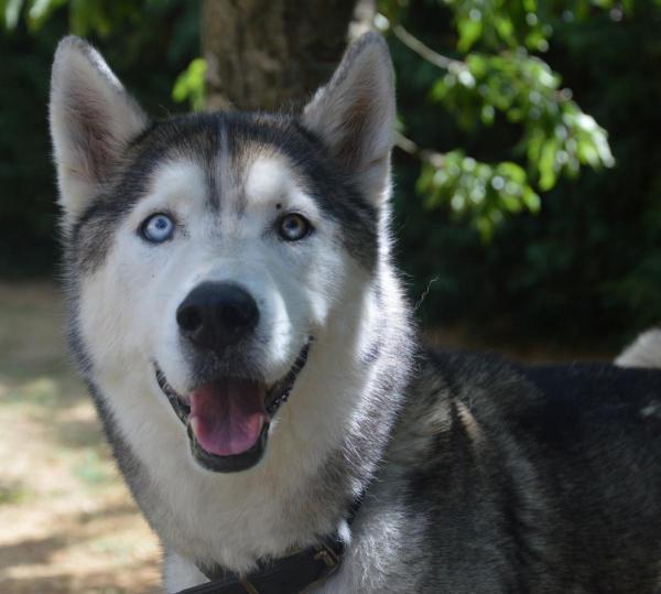 Zeke, Husky mâle gris blanc, REFU91 Zeke_210