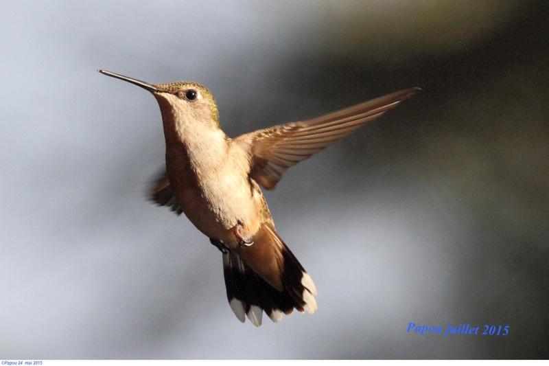 Les colibris sont revenus de leur nidification Papou_37