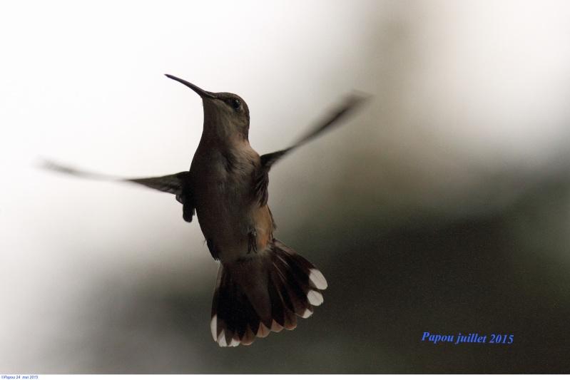Les colibris sont revenus de leur nidification Papou_38