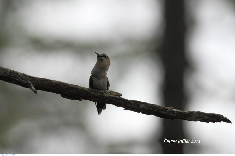 Les colibris sont revenus de leur nidification Papou_39
