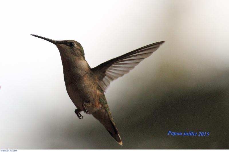 Les colibris sont revenus de leur nidification Papou_40
