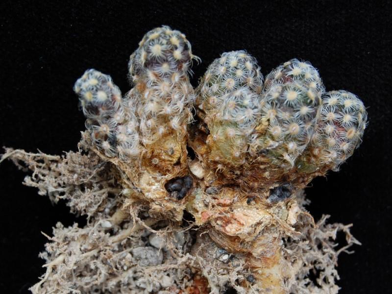 Mammillaria saboae -2012012