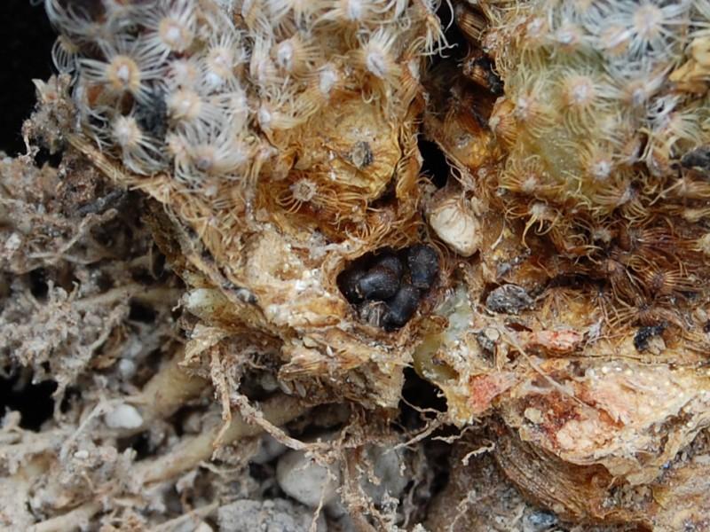 Mammillaria saboae -2012013