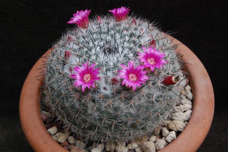 Mammillaria saetigera 3599-210