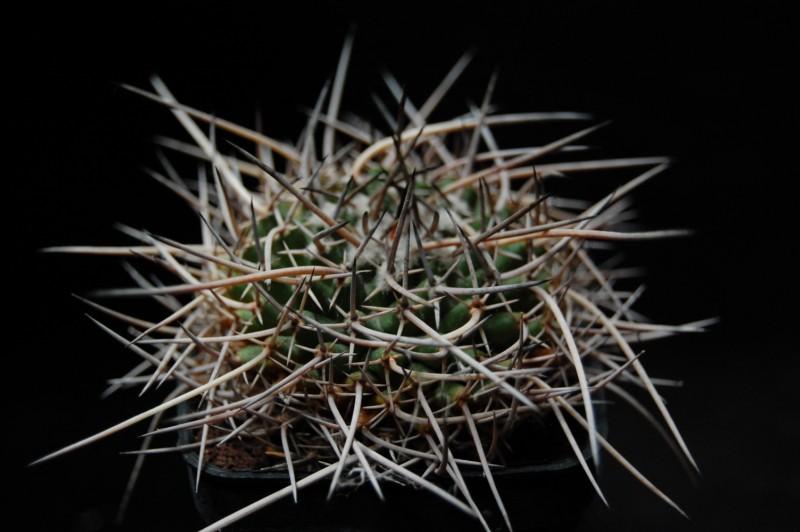 Mammillaria vagaspina BZ 4 3683-211