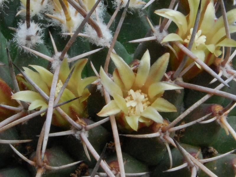 Mammillaria vagaspina BZ 4 3723-211