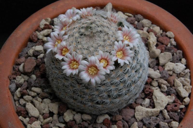 Mammillaria neobertrandiana 4363-210