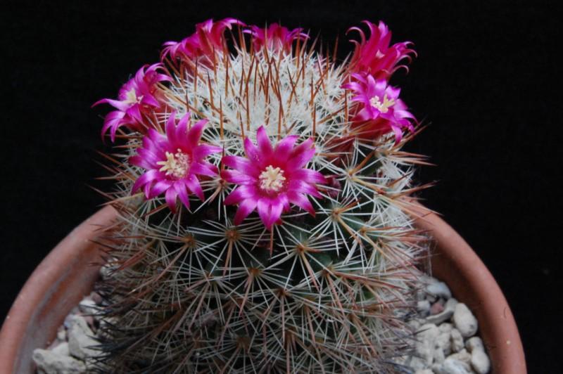 Mammillaria virginis 5061-210