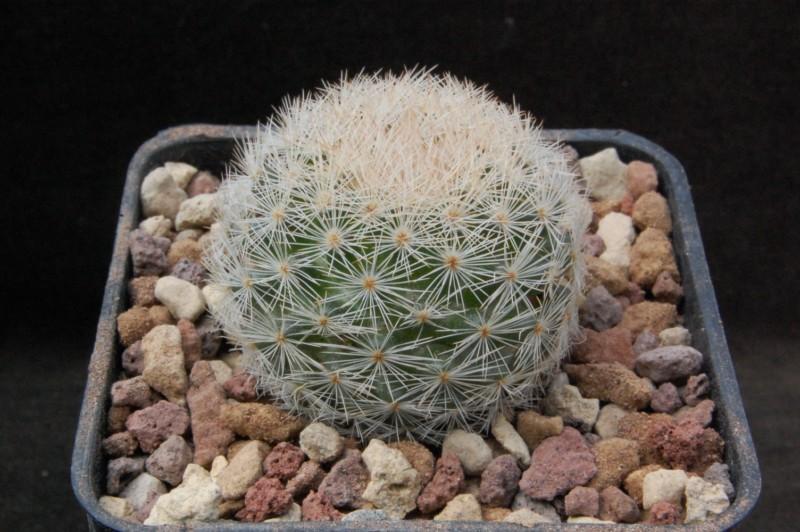 Mammillaria magallanii 6406-210