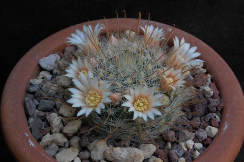 Mammillaria nazasensis 6423-211
