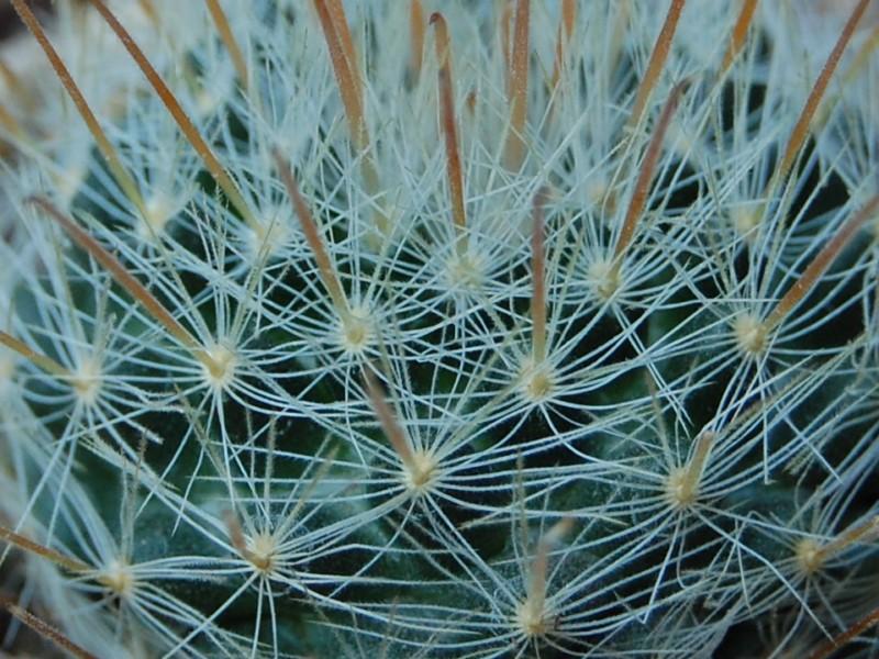 Mammillaria nazasensis 6423-212