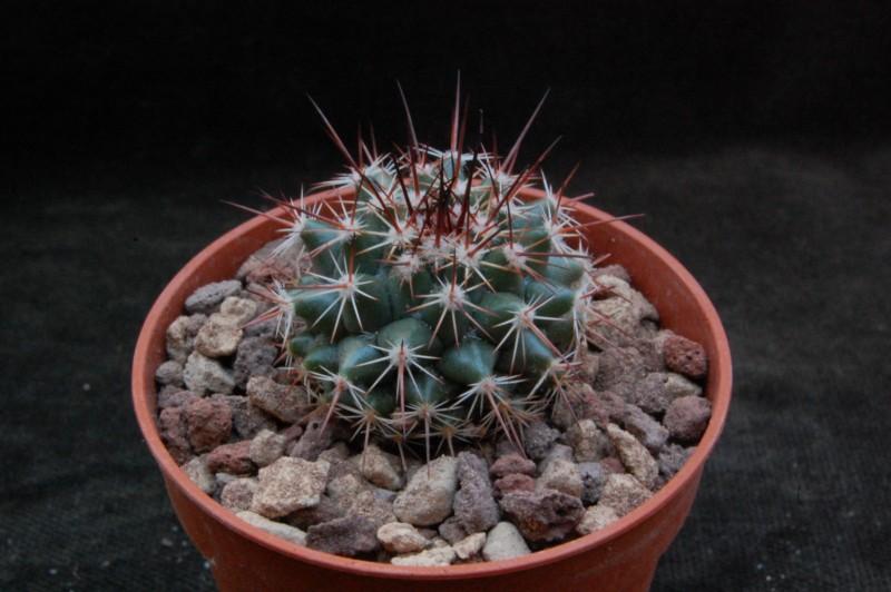 Mammillaria sonorensis 7383-210
