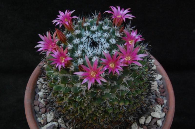 Mammillaria crispiseta 7461-210