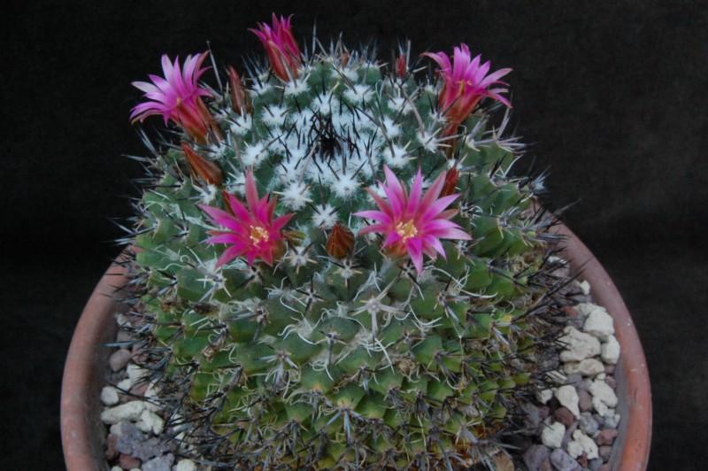 Mammillaria crispiseta 7461-211