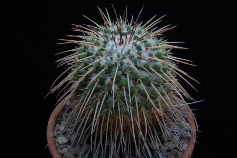 Mammillaria bernalensis 8078-210