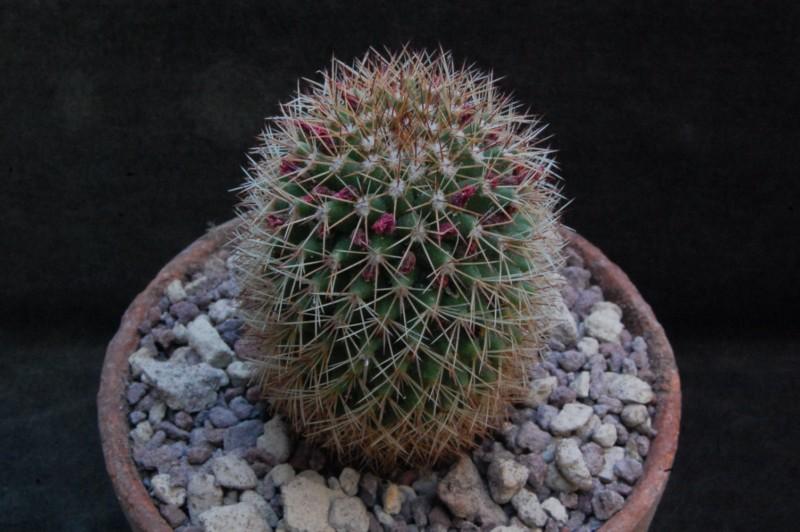 Mammillaria backebergiana 8128-210