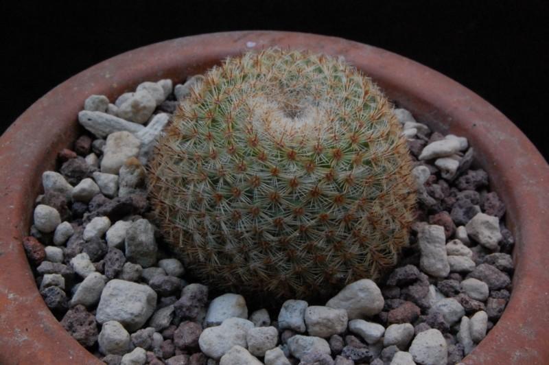 Mammillaria albidula 8216-210