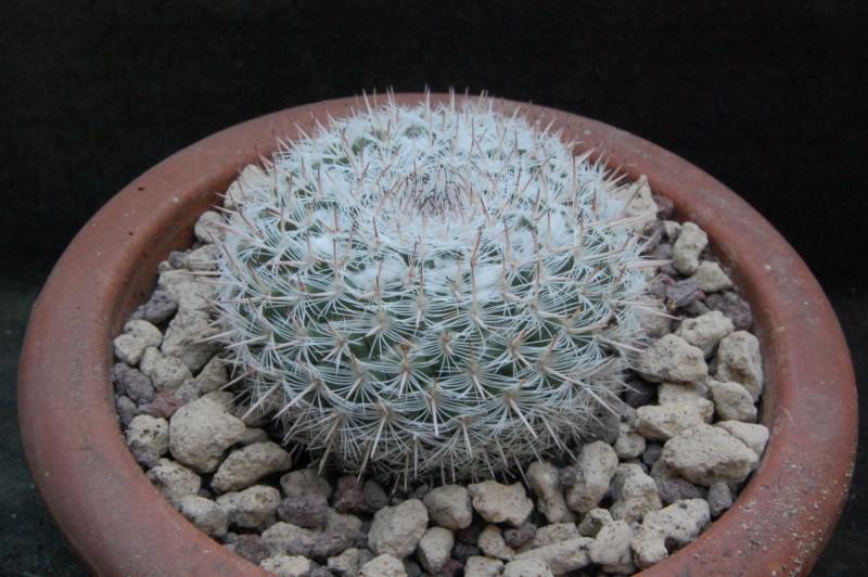 Mammillaria albata 8359-210