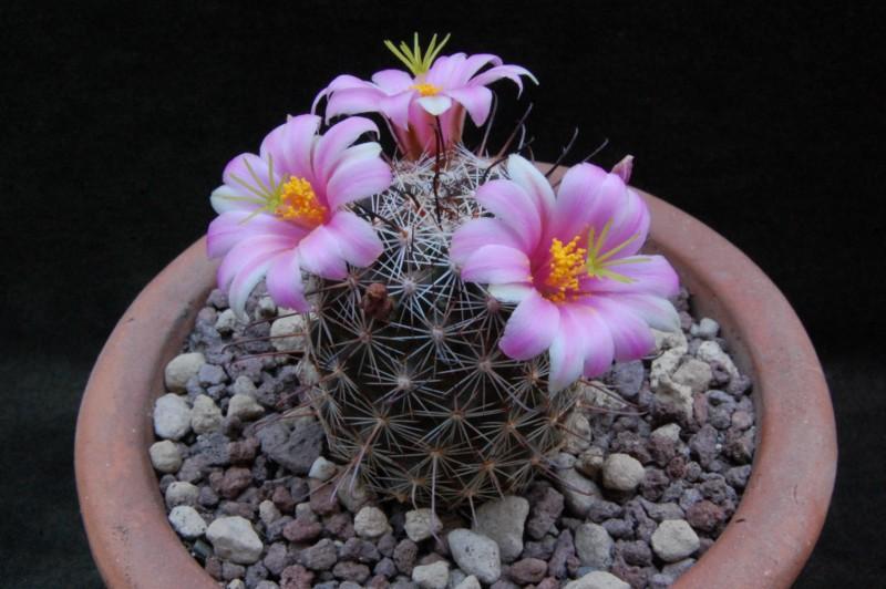 Mammillaria alamensis Alamen10