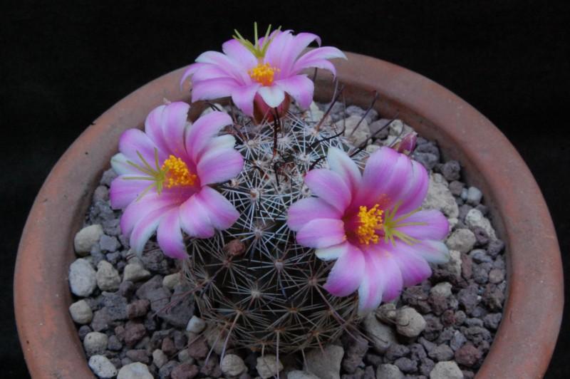 Mammillaria alamensis Alamen11