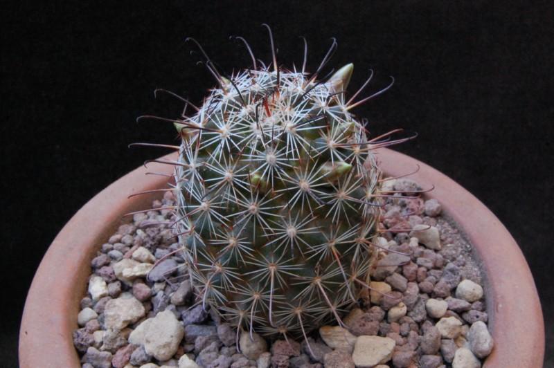 Mammillaria alamensis Alamen12