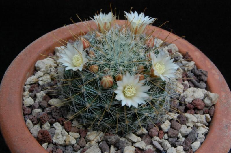 Mammillaria sinistrohamata Avz39510