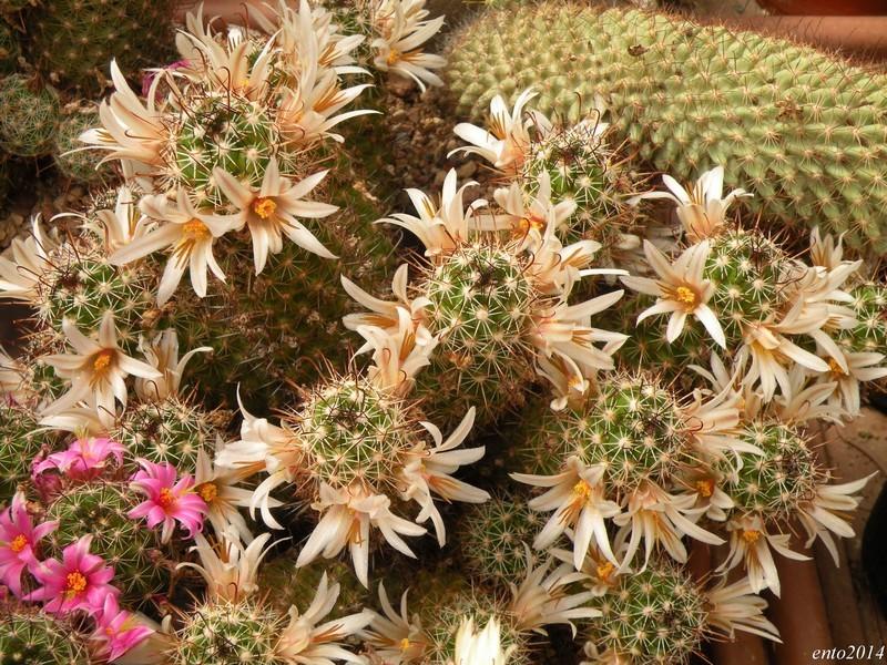 Mammillaria capensis Capens10