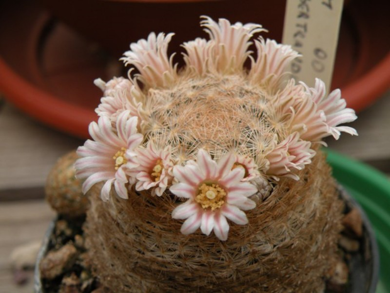 Mammillaria neobertrandiana Dscn0510