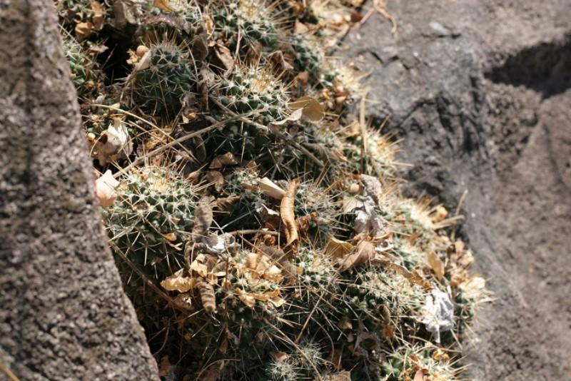 Mammillaria nagliana Img_8510