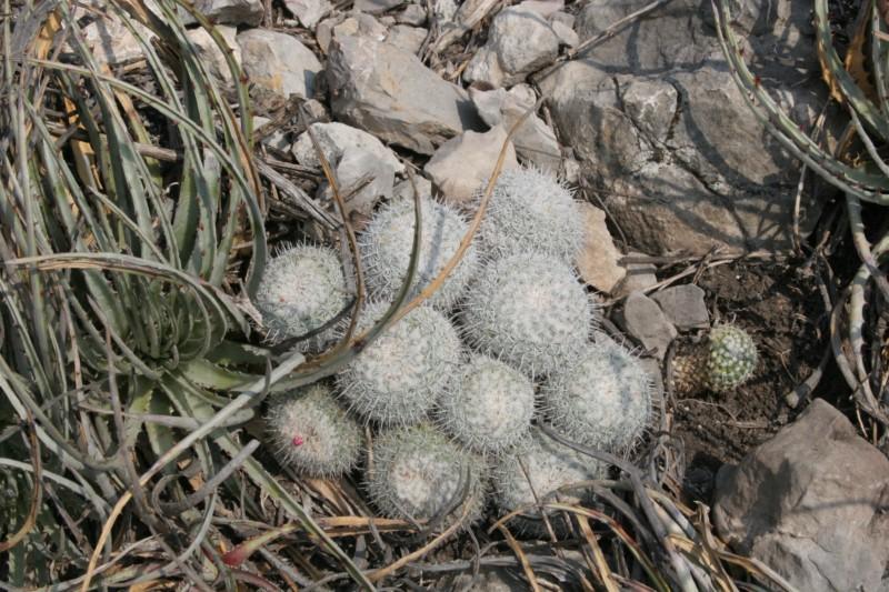 Mammillaria albata Img_9010