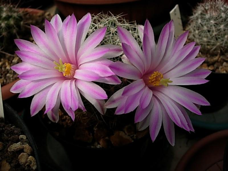 Mammillaria napina Napina10