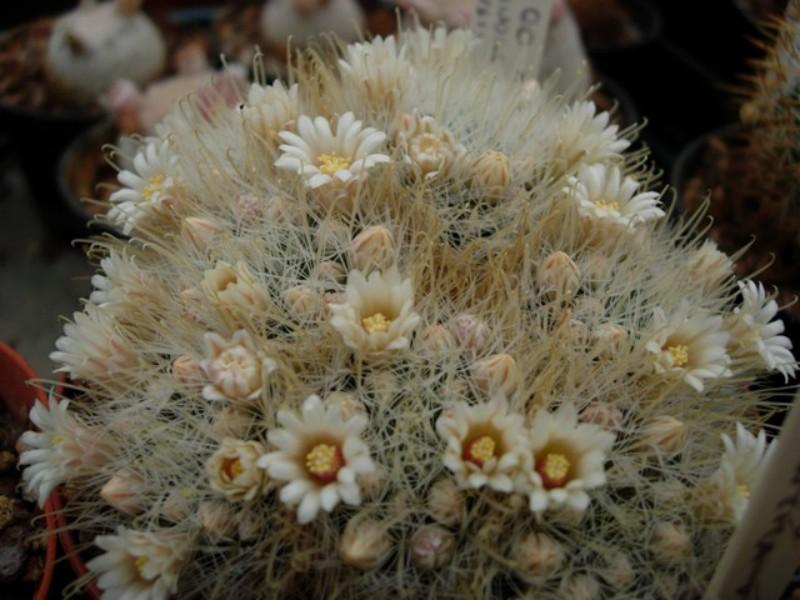 Mammillaria nazasensis Nazase10