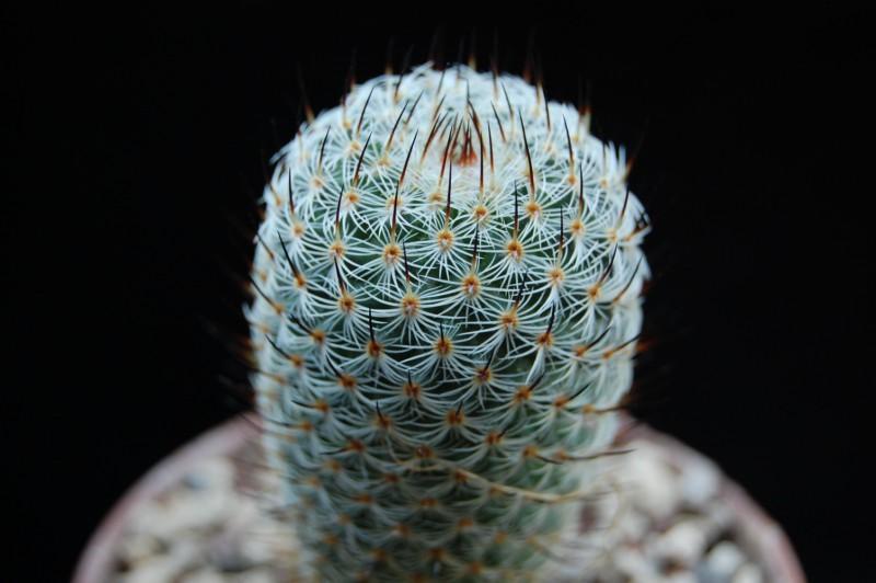 Mammillaria elegans Rog_1211