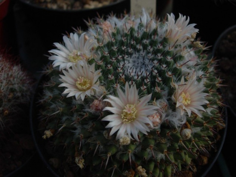 Mammillaria saetigera Saetig11