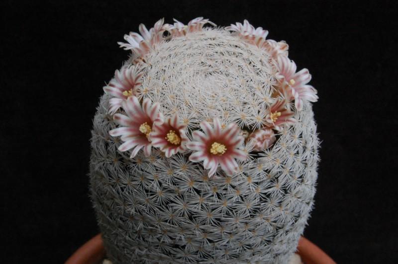 Mammillaria magallanii Sb_10110