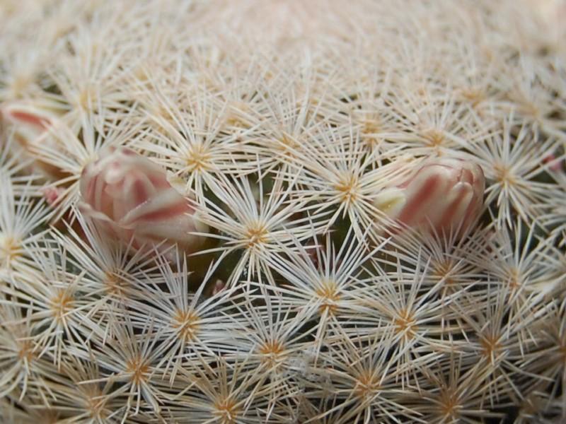 Mammillaria magallanii Sb_10111