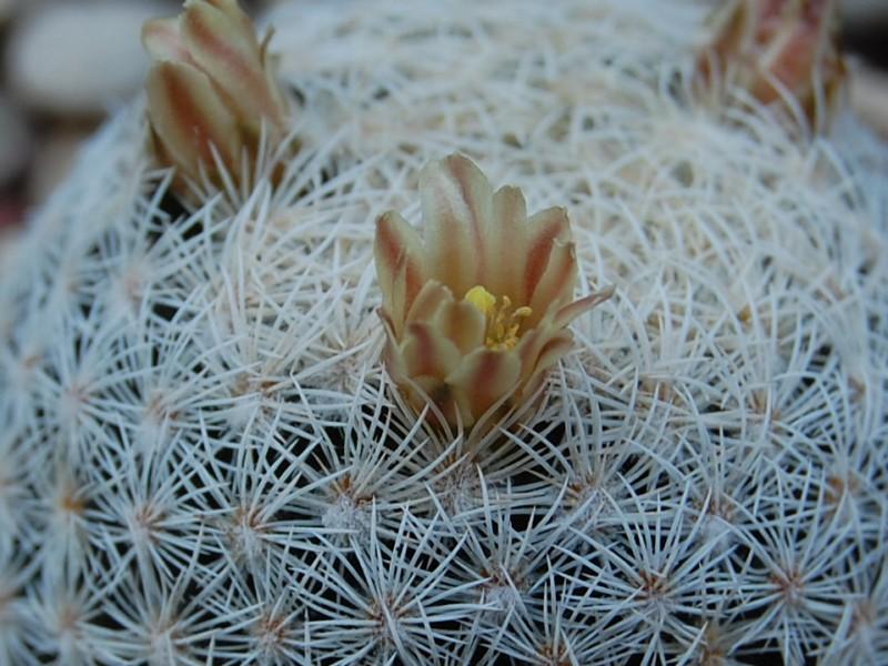 Mammillaria magallanii Sb_14311