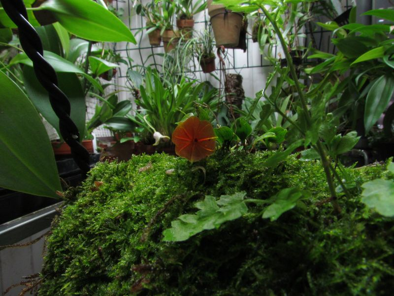 Lepanthes telipogoniflora Img_3521