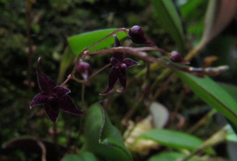 Lepanthopsis astrophora Img_3610