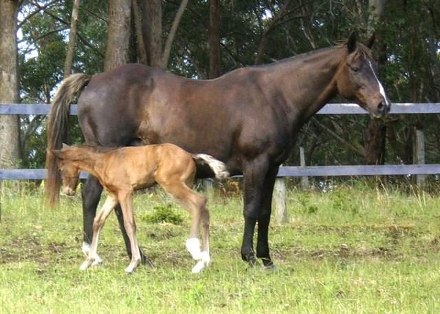 Silver Australian Stock horses Black_11