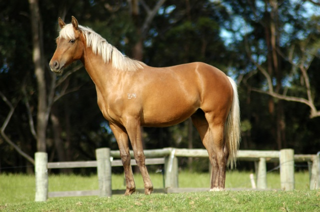 Silver Australian Stock horses Dsc_0010